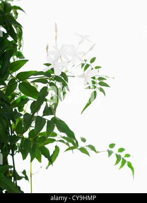 Jasminum polyanthum, Jasmine. White flowers and green leaves against a white background. Stock Photo