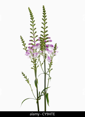 Physostegia virginiana, Obedient plant with purple flowers on upright stems against a white background. - Stock Photo