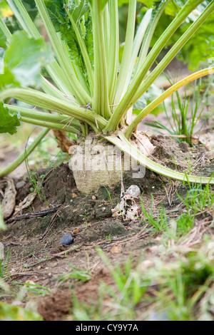 Beta vulgaris Sugar beet plant growing in field - Stock Photo