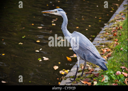 Heron beside the Birmingham and Worcester Canal, Birmingham - Stock Photo