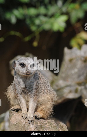 A cute meerkat sits on a piece of wood with sand on his nose. - Stock Photo