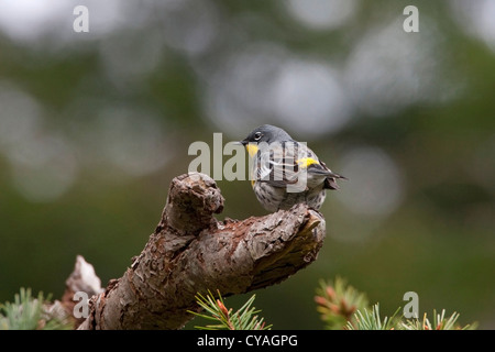 Yellow-rumped Warbler (Setophaga coronata) male Audubon's (auduboni) perched on log at Quadra Island, BC, Canada - Stock Photo
