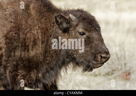 American Bison - young calf - Stock Photo