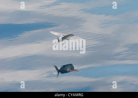 Flying Fish Species (scientific name unknown) with reflection visible, Maldives, Indian Ocean. - Stock Photo