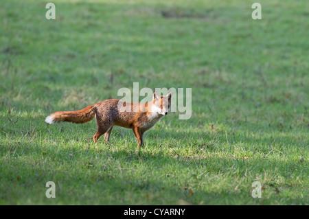 MALE RED FOX Vulpes vulpes.UK - Stock Photo