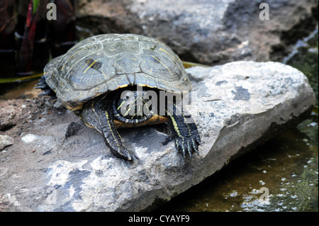 Water turtle sit on a rock in a pond. - Stock Photo