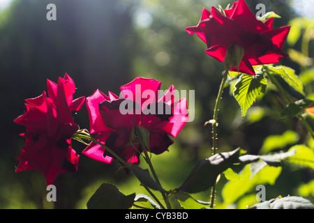 Beautiful purple roses in morning light. - Stock Photo
