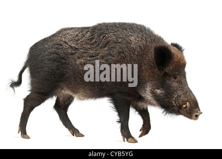 Wild boar, also wild pig, Sus scrofa, 15 years old, against white background - Stock Photo