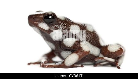 Maranon poison frog or Rana Venenosa, Ranitomeya mysteriosus, against white background - Stock Photo