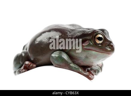 Australian Green Tree Frog or Dumpy Tree Frog, Litoria caerulea, against white background