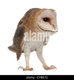 Barn Owl, Tyto alba, 4 months old, against white background - Stock Photo