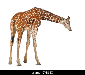 Somali Giraffe, known as Reticulated Giraffe, Giraffa camelopardalis reticulata, 2.5 years old, against white background - Stock Photo