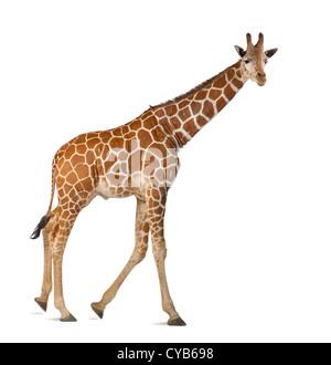 Somali Giraffe, known as Reticulated Giraffe, Giraffa camelopardalis reticulata, 2.5 years old, against white background - Stock Photo