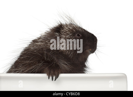 North American Porcupine, Erethizon dorsatum, also known as Canadian Porcupine or Common Porcupine against white - Stock Photo