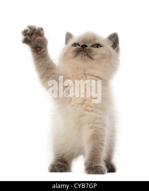 British Shorthair Kitten, 9 weeks old, looking up and playing against white background - Stock Photo