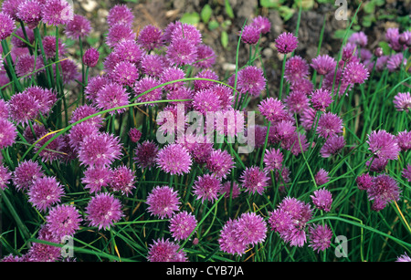 Purple flowering chives plants - Stock Photo