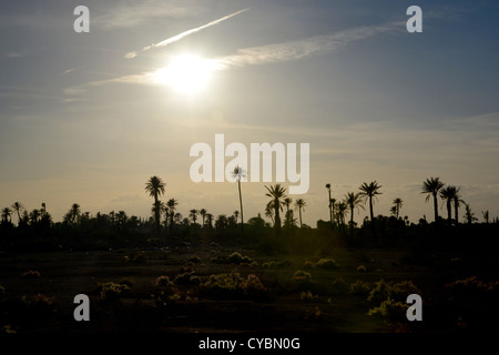 Palm tree silhouette  - tall palms dark against a blue and yellow sky as the sun begins to set over Marakesh in - Stock Photo