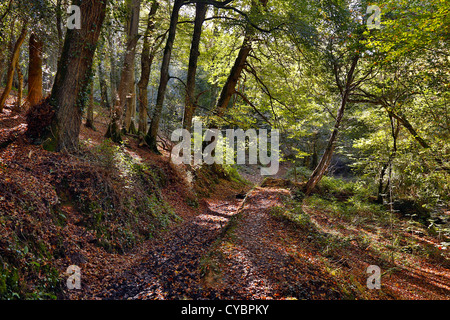 Woodland; Autumn; Helford; Cornwall; UK - Stock Photo