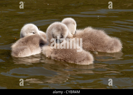 Three Cygnet - Signet or baby Swans relaxing and getting some sleep - Stock Photo