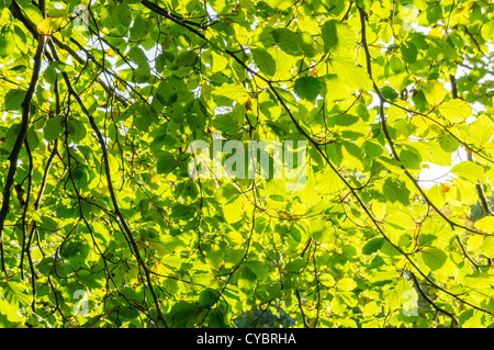 Sunlight shining through leaves on a tree trees - Stock Photo