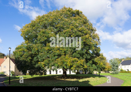 Large, mature Oak tree in late summer - Stock Photo