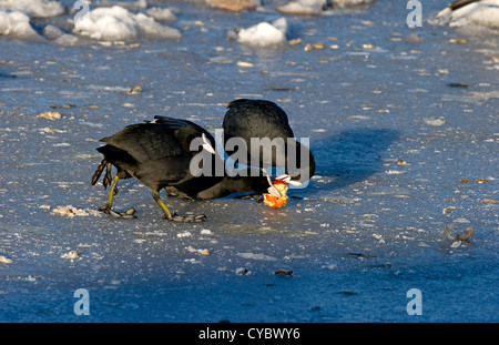Eurasian Coots fighting over apple on ice in hard weather - Stock Photo