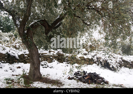 Snowy olive grove on Pelion Peninsula (Thessaly, Greece) - Stock Photo