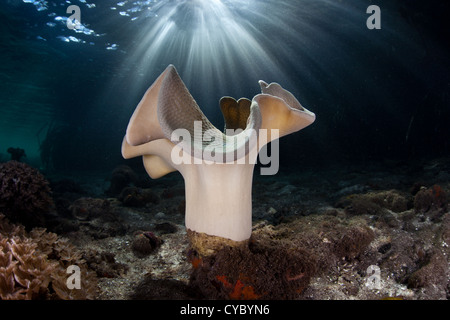 A mushroom leather coral, Sarcophyton sp., has retracted its polyps as it grows near the edge of a mangrove forest. - Stock Photo