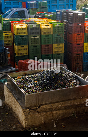 Harvested olives just before pressing in olive mill on Pelion Peninsula, Thessaly, Greece - Stock Photo
