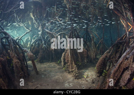 A small school of silversides flash through the prop roots of a remote mangrove forest at high tide. - Stock Photo