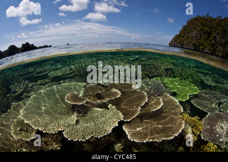 Table corals, Acropora spp., grow on a shallow reef flat between limestone islands in the western Pacific. - Stock Photo