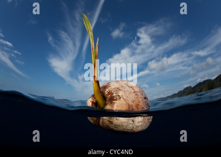 A germinated coconut, Cocos nucifera, floats in deep water not too far from tropical islands where it may land on - Stock Photo