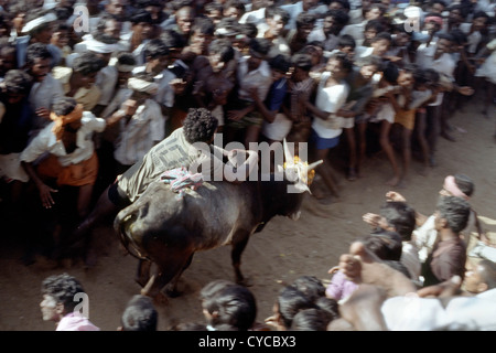 Jallikattu;bull taming in Alanganallur near Madurai,Tamil Nadu,India - Stock Photo