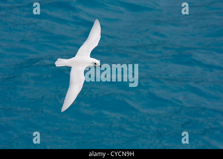 A brilliant white snow petrel flying against the deep blue water of Drygalski fjord in South Georgia - Stock Photo