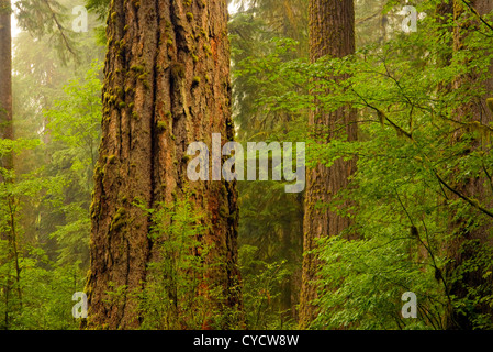 WA04916-00...WASHINGTON - Misty morning at the Hoh Rain Forest in Olympic National Park. - Stock Photo