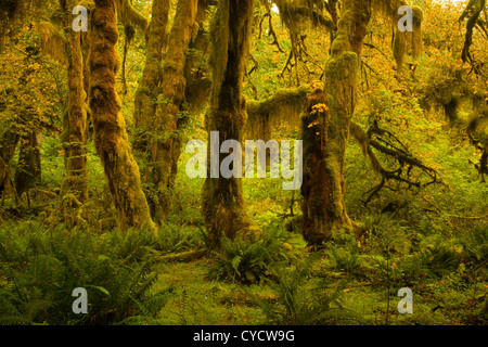 WA04925-00...WASHINGTON - Hall of Mosses in the Hoh Rain Forest area of Olympic National Park. - Stock Photo