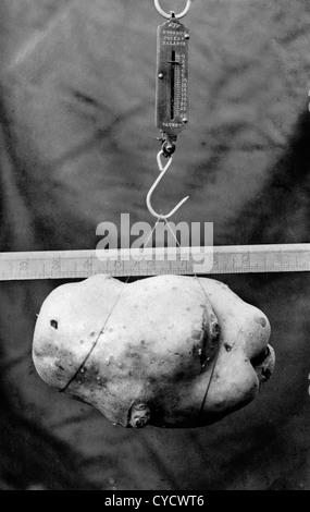 1900s heaviest potato competition at a show. The potatoes is nearly 8 inches long and weighs in at 3 Lbs. Photo - Stock Photo