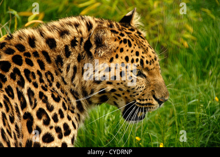 Close up Amur Leopard prowling - Stock Photo