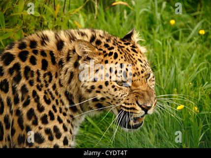 Amur Leopard close up snarling - Stock Photo