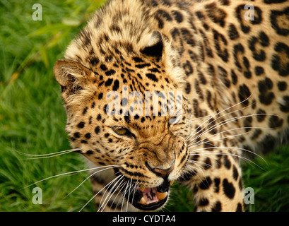 Close up Amur Leopard snarling - Stock Photo