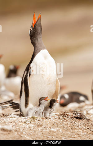 The long-tailed Gentoo penguin, (Pygoscelis papua) with two chicks in the Neck - Saunders island - Falkland Islands.