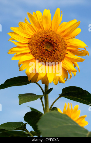 Sunflower on a summer's day in Bavaria - Helianthus annuus. - Stock Photo