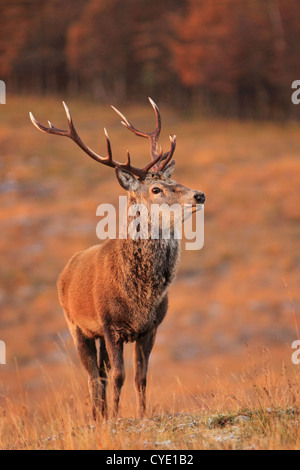 UK Scotland Red Deer Stag in Scottish Highlands - Stock Photo
