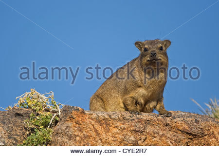 Rock hyrax / Cape hyrax (Procavia capensis) on the lookout from rock in the Augrabies Falls National Park, South - Stock Photo