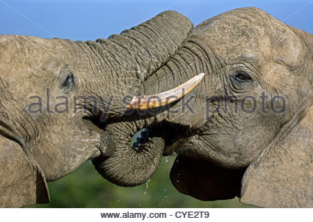 Two African elephants (Loxodonta africana) playfighting with their trunks, Addo Elephant National Park, South Africa - Stock Photo