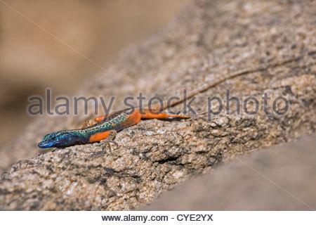 Broadley's / Augrabies Flat Lizard (Platysaurus broadleyi) male sunbathing on rock, Augrabies Falls National Park, - Stock Photo