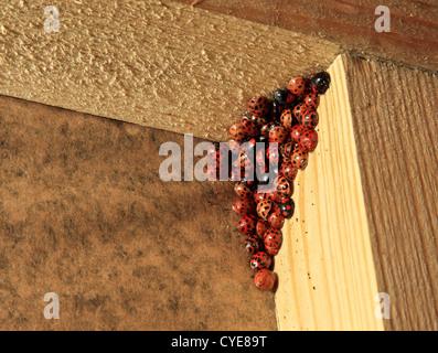 8347. Harlequin Ladybirds hibernating, Kent, England, Europe - Stock Photo