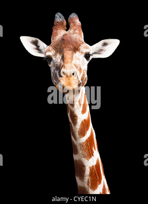 Giraffe head and neck isolated against a black background with clipping path Stock Photo