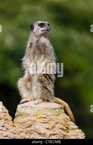 Meerkat (suricata suricatta) sentry stands upright on a rock keeping watch - Stock Photo