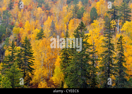 Aspens and birches, with red pines on rocky hillside, Greater Sudbury, Ontario, Canada - Stock Photo
